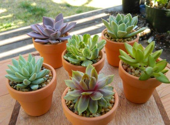 Plantinha Suculenta, Como Cuidar